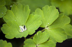 Columbine Leaves with a Raindrop. Spring Leaves of Columbine flower with a big Raindrop in the middle of leaf Stock Images