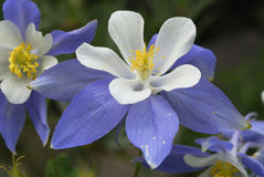 Columbine lilies in Colorado Rocky Mountains Royalty Free Stock Images