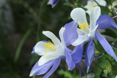 Columbine lilies in Colorado Rocky Mountains Royalty Free Stock Photos