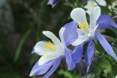 Columbine lilies in Colorado Rocky Mountains Royalty Free Stock Photos