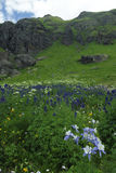 Columbine lilies in San Juan Mountains in Colorado royalty free stock photos