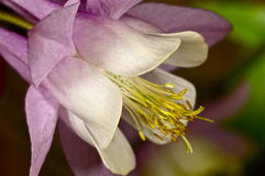 Columbine macro shot on green Royalty Free Stock Images