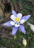 Columbine. Nestled under the trees on a back road in Colorado stock images