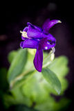 Columbine pourpre Photo libre de droits