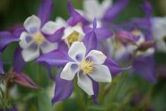 Columbine pourpre aux jardins de Longwood Image libre de droits