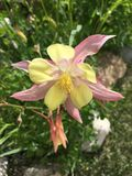 Columbine rose et jaune Photos libres de droits