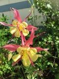 Columbine rose et jaune Photo libre de droits