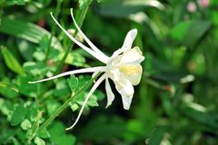 Columbine White Flower Gardening Stock Photo royalty free stock photos