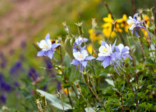 Columbine Wildflowers Colorado State Flower Royalty Free Stock Image