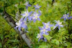 Columbines στο δάσος Στοκ Φωτογραφίες