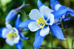 Columbines Stock Image
