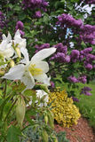 Columbines et lilas Photo stock