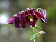 Columbines flower Royalty Free Stock Photo
