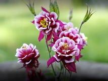 Columbines flower Stock Image
