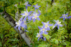 Columbines in Forest Stock Photos