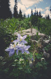Columbines stock images