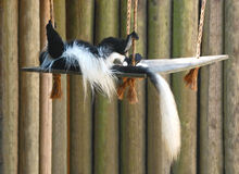 Columbus Monkey acting like Joe Cool. Colobus monkeys are widely distributed across the forests and grasslands of Central Africa The lack of a thumb is an Royalty Free Stock Photo