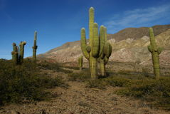 Column cacti in northern argentina Stock Image