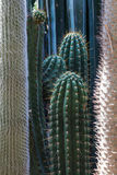 Column cacti Royalty Free Stock Photography