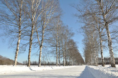 Column of Trees in winter Stock Image
