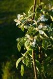 Columnar apple tree in flower. Columnar apple tree late in the season stock images