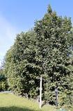 Columnar apple trees Royalty Free Stock Photo