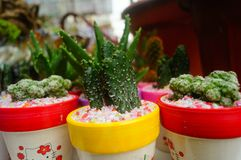 Columnar cactus succulents. Succulents columnar cactus in the flower shop sale royalty free stock images