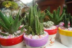 Columnar cactus succulents. Succulents columnar cactus in the flower shop sale royalty free stock photo