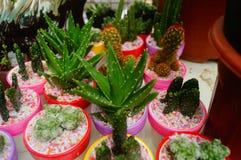 Columnar cactus succulents. Succulents columnar cactus in the flower shop sale royalty free stock photography