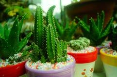 Columnar cactus succulents. Succulents columnar cactus in the flower shop sale stock image