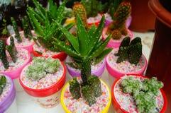 Columnar cactus succulents. Succulents columnar cactus in the flower shop sale royalty free stock photos