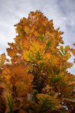 Columnar English Oak in the Fall. Columnar English oak with autumn coloring its leaves in red, yellow, orange, and green stock photography