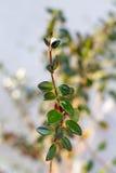 Columnea gloriosa houseplants Stock Images