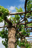 Columns & grape vines. Grape vine climbing over stone columned garden walkway Stock Photo