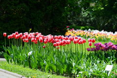 Columns of red tulips at the entrance to the botanical garden form Cluj. Stock Photos