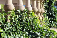 Columns and vines. Concrete columns with luscious green ivy growing Royalty Free Stock Image