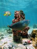 Coluna de esponjas do mar Imagem de Stock