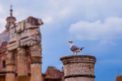 A coluna iônica velha que uma gaivota se sentou para baixo Roman Forum Rome fotografia de stock