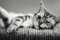 Colur in bianco e nero del gatto Fotografie Stock Libere da Diritti