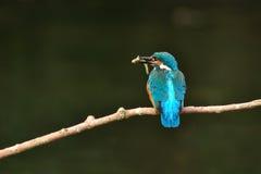 Colurful ptak z smal ryba Obrazy Stock