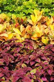 Colus plant Royalty Free Stock Photo