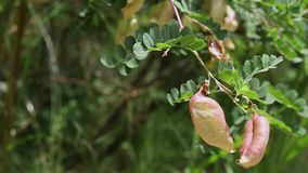 colutea细节树