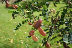 Colutea arborescens 免版税库存图片