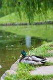 Colvert de canard Images stock