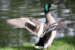 Colvert de canard photo libre de droits