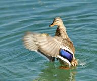 Colvert duck Stock Photography
