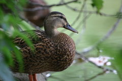 Colvert femelle Photo stock