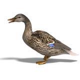 Colvert femelle de canard Images stock