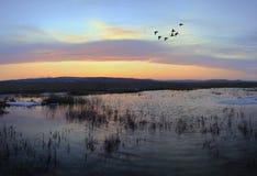 Colverts de vol après coucher du soleil Photographie stock libre de droits