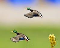 Colverts en vol avec la jonquille Photo libre de droits